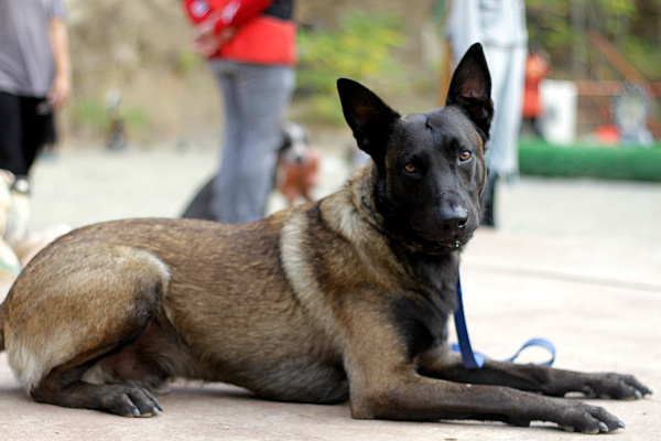 perro pastor belga malinois adiestrado