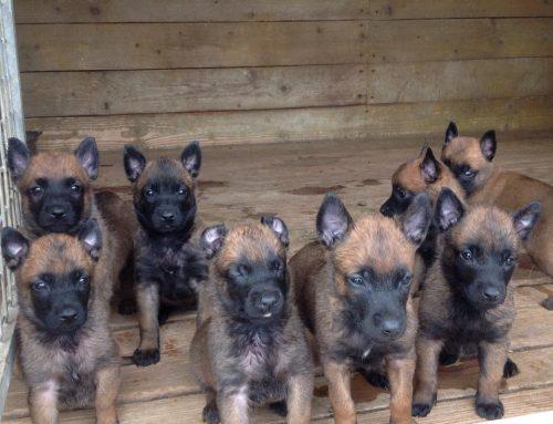Cachorros Pastor Malinois en Venta