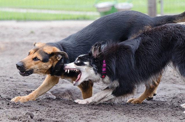 Perro ladra a otro perro atado