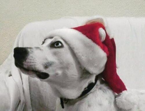 Los mejores consejos si quieres regalar un perro por navidad