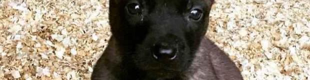 Ventajas de los perros Pastor Belga Malinois